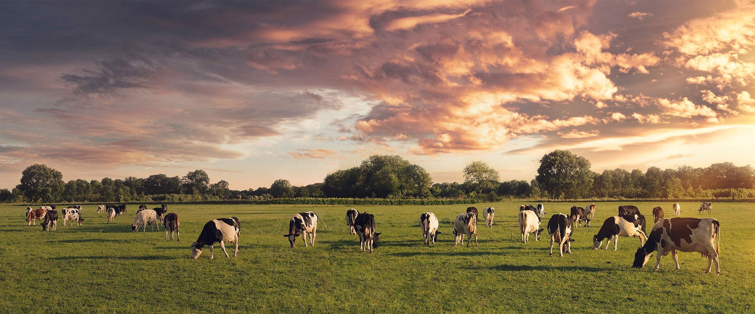 Påvirker køerne klimaet?