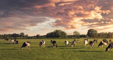 Færre køer = mere mælk