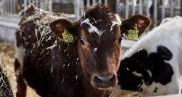 Hvad sker der med tyrekalvene?