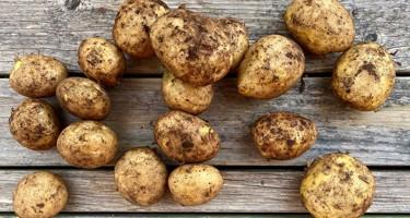 Folva kartoffel