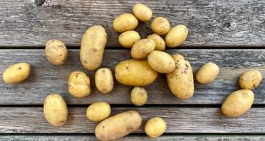 Sava kartoffel