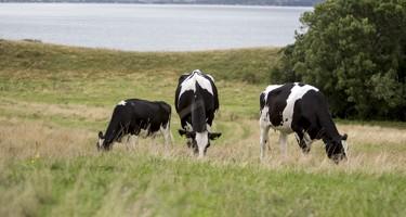 Køer på græs