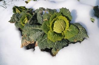 grönkål i snö.jpg